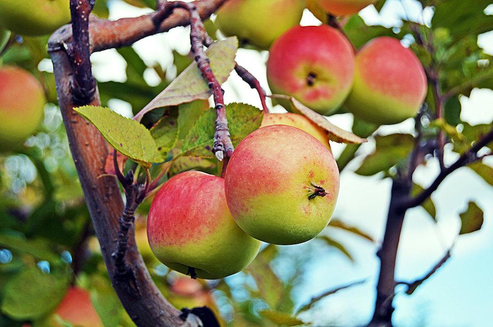 사과 나무 (출처: 플리커 CC BY Emily Mathews)